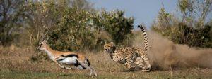 Cheetah hunting gazelle Serengeti Tanzania