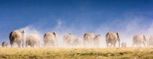 Elephant herd Tanzania