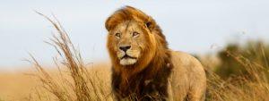 Lion Serengeti staring distance