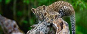 leopards cubs serengeti tanzania